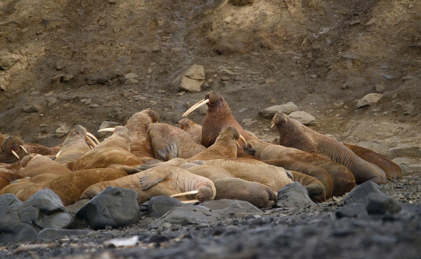 Лежбище моржей в Чукотском районе