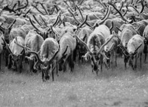 Проблемы сохранения культуры оленеводов на Ямале