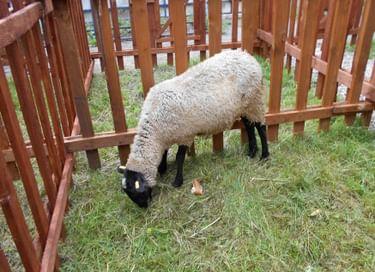 Фестиваль «Романовская овца – золотое руно России»