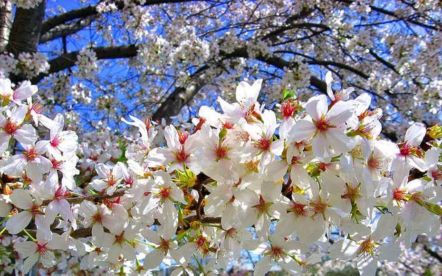 Расцвела у окошка белоснежная вишня