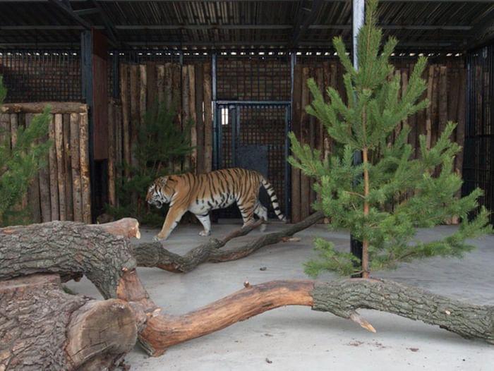 Открытие нового вольера для амурских тигров